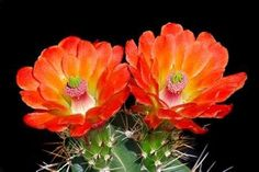 Cuadro Claret Cup Flowers