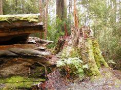 Walking with giants. Airwalk, Tasmania, State Parks, Exploring, Walking, Australia, River, Nature, Kids