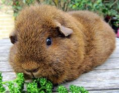 brown guinea pig chewing on broccoli