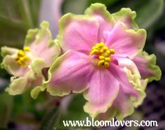 green lace sport african violet