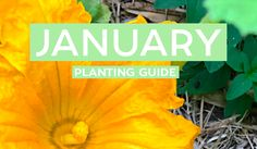 Your January Edible Planting Guide - Australia Wide! From Beets, to Basil, to Zucchini... Start off the year by growing an array of beautiful edibles!
