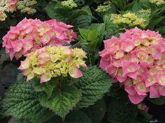 Hydrangea kleur rose, goed bemeste zandgrond ,leem en kleigrond in zon tot halfschaduw