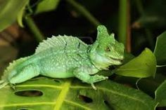 This is a Green Basilisk Lizard. Do you know why it is sometimes called Jesus Christ Lizard? Read more about the green basilisk lizard here: http://easyscienceforkids.com/all-about-the-green-basilisk-lizard/