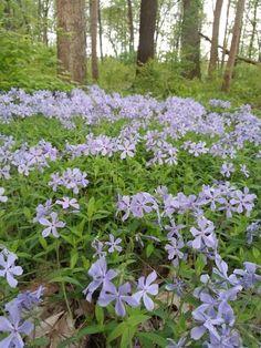 Phlox divaricata (Wild Blue Phlox) - Flowers - Natural Communities Native Plants