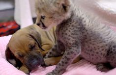 The internet often buzzes when videos of baby elephants and horses, baby rhinos and goats, and dogs with blind horses appear. Today I heard about a program of raising cheetah cubs with puppies at t…