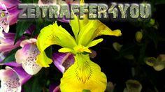 Schwertlilie Iris pseudacorus Timelapse Zeitraffer yellow iris yellow flag