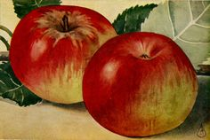 The Bismarck apple is believed to have originated from Bismarck in Tasmania which was a German settlement. The other theory is that it was raised by F Fricke, a German settler at Carisbrooke, Victoria, Australia. The fruit was grown in Victoria and also in England and across Europe until the 1930s