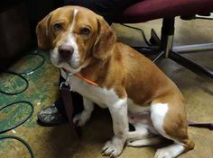 TOPPER - Beagle Pike County Dog Pound  Waverly, Ohio ~LD~ For more information on this adoptable pet, please contact the shelter directly.  PIKE COUNTY DOG WARDEN IS FULL FULL FULL!  This dog is 1-2 years old, weighs 30 pounds and available for 4/10/2015. Please email Wayne at zebraswd@yahoo.com for more info on this sweetie.