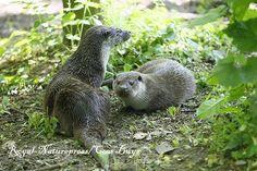 Donderdag avond zijn er weer twee otters uitgezet bij #Babberich in de Gelderse Poort. #Zevenaar. Vrijdag 9 mei 2014. Via twitter @RoyalNaturepres.