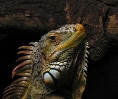 Florida Scientists Are Running Around at Night Bashing in Iguanas' Skulls. How about DACA for iguanas?