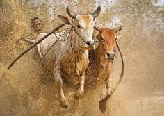 bull race during onam Art Village, Indian Village, Photography Basics, Indian Photography, Cochin, Bull Pictures, Village Photography, Beautiful Landscape Photography, Life Paint