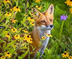Fox in the Flowers by Bonnie DeLap on 500px
