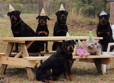 Rottweiler  Party time!