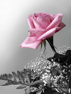 Pink roses are my favorite
