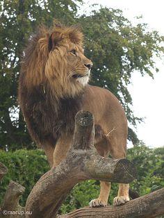 15 best cheetahs images  cheetahs animals big cats