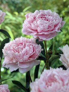 My favourite peony, Sarah Bernhard