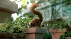 In order to make the realistic CG squirrel perform in a live action environment, the timings and actions of the animal were blocked out by the boutiq team during pre-vis. After analyzing reams of squirrel footage to understand how these creatures moved, our animators lovingly key framed the squirrel into life. Various simulations were created to add realistic fur (over 6 million hairs) and muscle movements to the animation. Shot on location we added lots of 3D plant extensions during post…