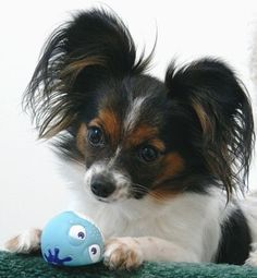 "There are 3 of these dogs that walk in my neighborhood. I call them the ""butterflies"" Mom said No... they are a Papillon dog breed"
