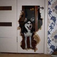 фото хаски разрушитель квартиры