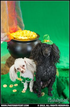 Two toy poodles sitting by the pot of gold at the end of the rainbow. St. Patties (Patrick's) Day dogs. Love this photo? Re-pin it!