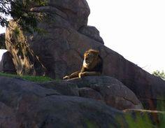 Lion sighting at Animal Kingdom's Kilimanjaro Safari