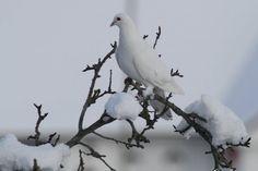 dove in snow