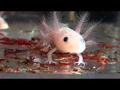 Axolotl Babys - YouTube
