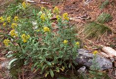 Solidago wrightii. Wright's Goldenrod. Native  herbaceous perennial. Great nectar source for pollinators. Forms a patch. Attractive foliage. Part shade.