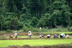 laos | rice farm near vang vieng laos photo vonchilliman laos and
