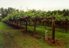 kiwi trellis | kiwi fruit cultivation