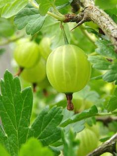 Gooseberry Bush, the grow guides from grow veg are available for all 180 of the plants on the garden planner plant selection toolbar, they are a wonderful resource. Gooseberry Plant, Gooseberry Bush, Gooseberry Growing, Fruit Garden, Edible Garden, Vegetable Garden, How To Grow Gooseberries, Garden Planner, Plant Information