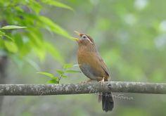 Garrulax canorus/Hwamei/チメドリ科ガビチョウ