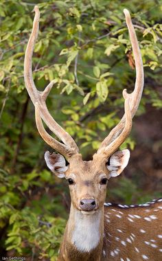 Magnificent stag, undoubtedly one of the most beautiful animals I have ever seen .....