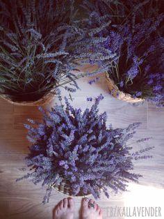 Harvest of lavender 2015