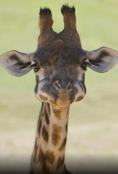 Is this giraffe eating grapes or is it just 'chubby cheeks'. Says my grandson.
