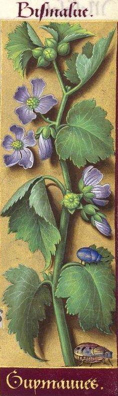 Guymauves - Bismalve (Althæa officinalis L. = guimauve) -- Grandes Heures d'Anne de Bretagne, BNF, Ms Latin 9474, 1503-1508, f°231r