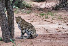 Shanty ein Leopard im Africat Camp in Namibia #africa #namibia #leopard #wildnis…