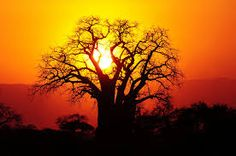 baobab tree images south africa - Google Search