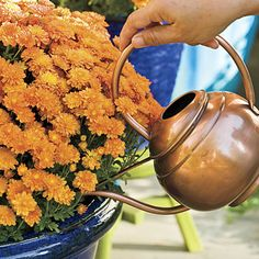 great tips for growing fall mums here -- or for trying to keep them from an early death??!!