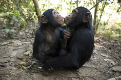 A little social support from your best buds goes a long way, whether you're a human or a chimp. A new study that followed a chimpanzee community in the forests of Uganda has found that quality time with close companions significantly decreased stress hormone levels in the primates — whether they were resting, grooming or facing off against rival groups.