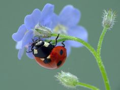 Ladybug on forget me nots