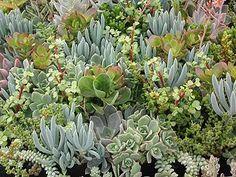 Jade Crassula Ovata Variegata Tricolor 5 by SucculentDESIGNS, $4.95