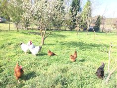 #freerange #lidsvegas  #chickens