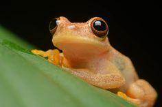 Ranita #frog #amphibian