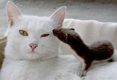 Weasel kit and its cat mother...