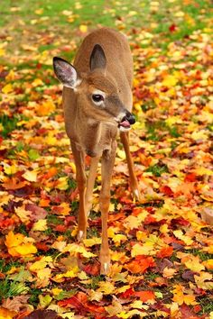 Deer Fawn in Fall Leaves ~ Visit webhosting.web.com