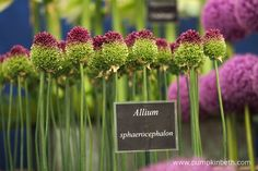 Jackie Currie, Alliums, and the RHS Hampton Court Palace Flower Show 2017 - Pumpkin Beth