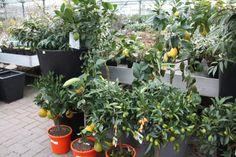 Citrusbomen