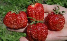 Strawberry Garden, Small Farm, Garden Care, Begonia, Vegetable Garden, Vegetables, Flowers, Plants, Outdoor