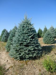 1000 Images About Evergreen Tree Possibilities On